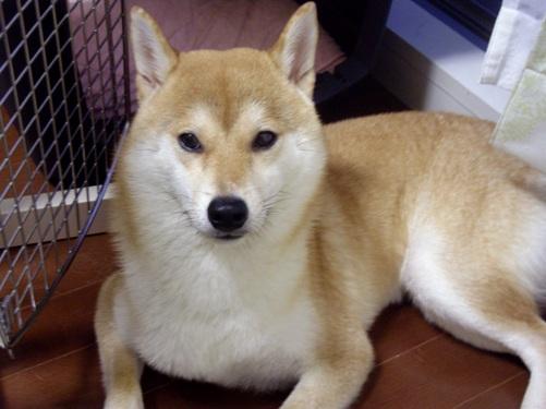 柴犬ズン画像 僕の耳って