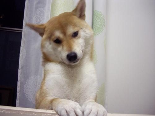 柴犬ズン画像 くね