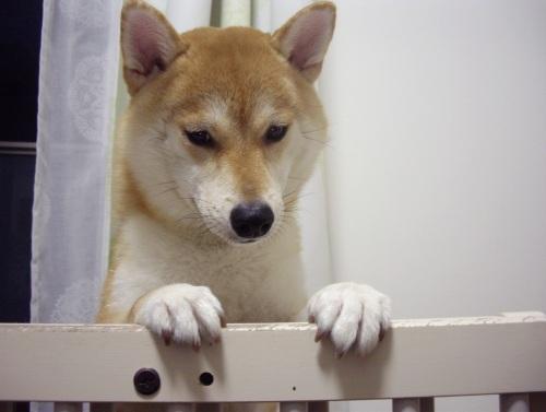 柴犬ズン画像 しょん