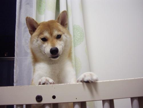 柴犬ズン画像 おっ