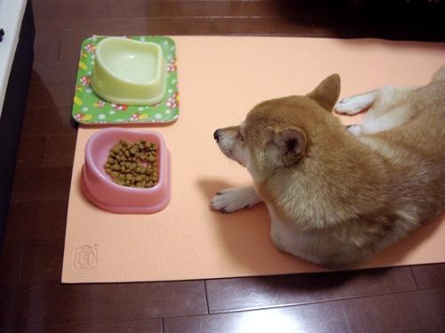柴犬ズン画像 耳がキュウティーだー