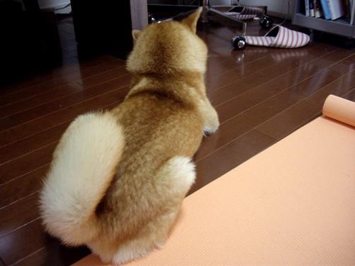 柴犬ズン画像 もっこりもこもこ