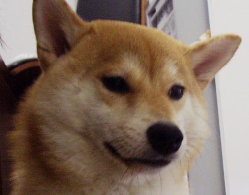 柴犬ブログランキング参戦中!0908のズンは何位かな?