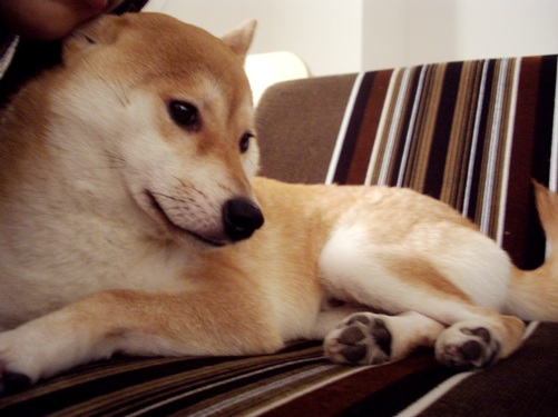 柴犬ズン画像 耳がつぶれてるー