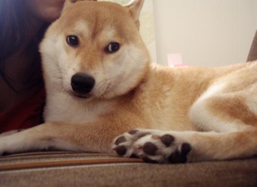 柴犬ズン画像 楽しいですかー
