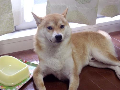 柴犬ズン画像 何ですか?