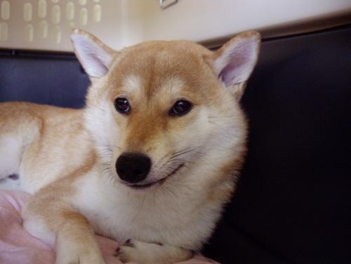 柴犬ズン画像 ムキちゃんだ~