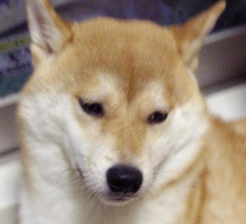 柴犬ブログランキング参戦中 0919のズンは何位かな?