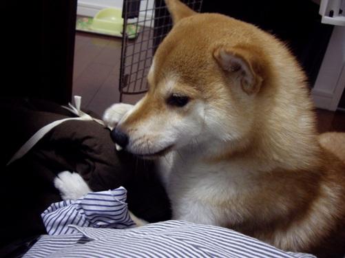 柴犬ズン画像 ラベル