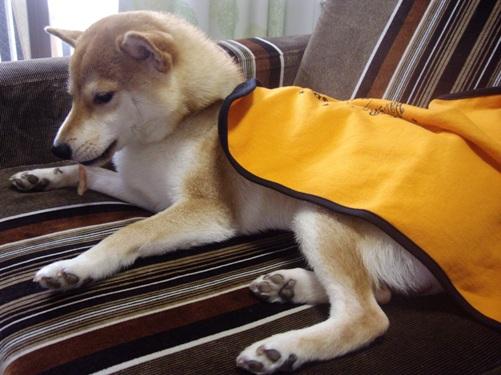 柴犬ズン画像 エメラルド(サスケくん、サラちゃん)さんありがじょう~