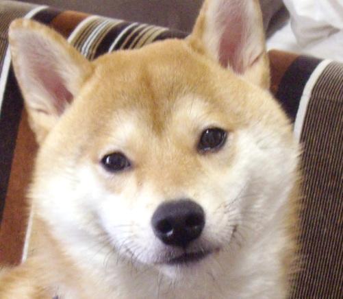 柴犬ブログランキング参戦中 1002のズンは何位かな?