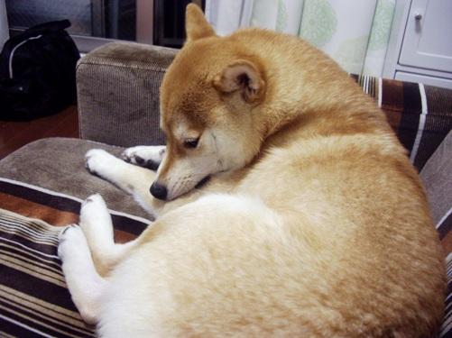柴犬ズン画像 カカカ