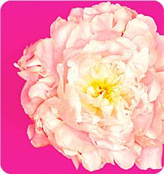 ピンクの大きな花
