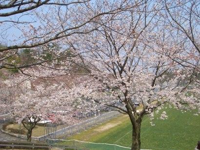 日本の桜1