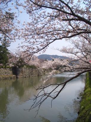 日本の桜3