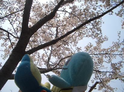 中国の桜1