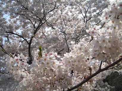 中国の桜2