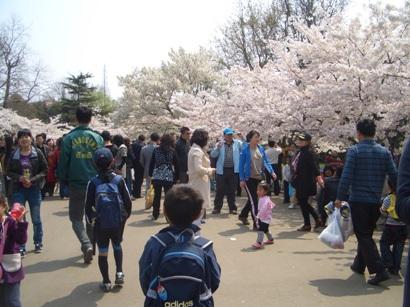 中国の桜3