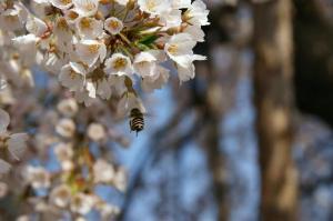枝垂桜とミツバチさん1