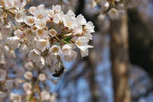 枝垂桜とミツバチさん2