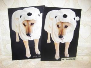白熊を被った北海道犬!