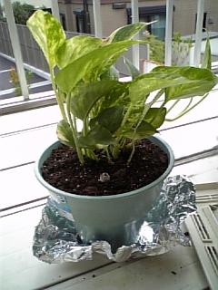 植物 2009年6月 ポトス 鉢植え