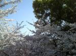 景色 2009年4月9日 桜並木