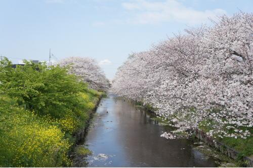 2012桜1