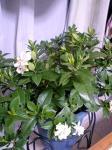 くちなしの鉢植え