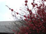 校門脇の梅の花