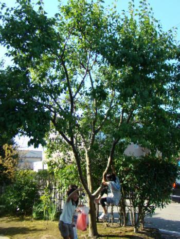 この木何の木プルーンの木♪