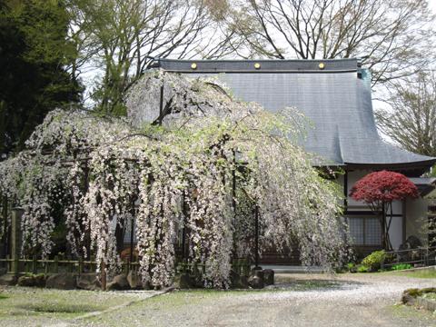 浄応寺 桜 2