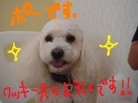 ポー(白ぷー)