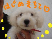 クッキー(白プーちび)