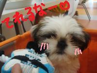 プー太(シーズー3ヶ月)
