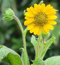 yakonflower.jpg