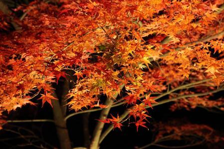 曽木公園 ライトアップされた紅葉(アップ)