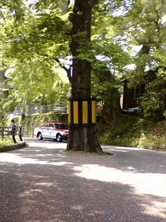 道路を分断する木