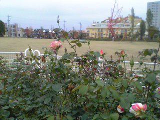 ミササガパーク  バラ園