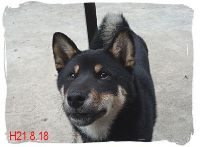 柴犬090818