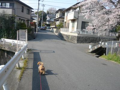 ちゃおと桜