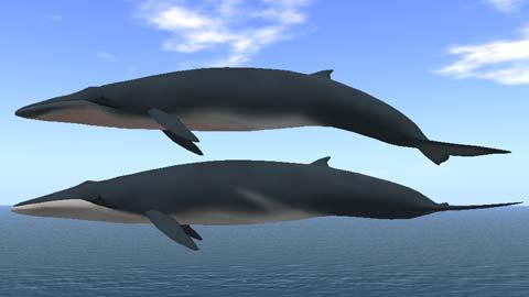 ニタリクジラ2