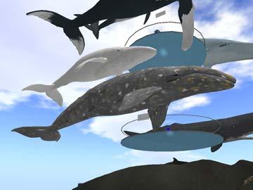 100930コククジラ展示
