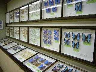 蛍光色の蝶々たち「モルフォ」