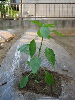 この奥には枝豆を植える予定。まだ何も植わっていない。