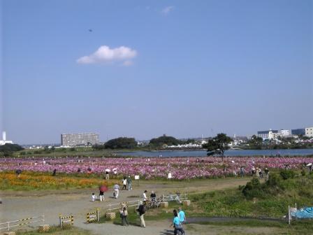 相模川河川敷のコスモス畑