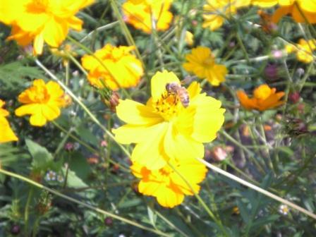 黄花コスモスとミツバチ