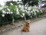 roses^3.jpg
