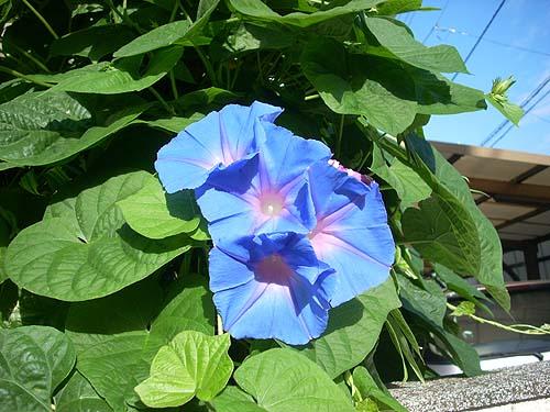 20090827花①