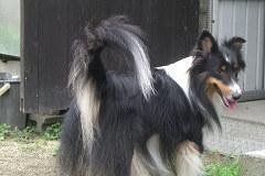 ユキの珍しい巻き尾